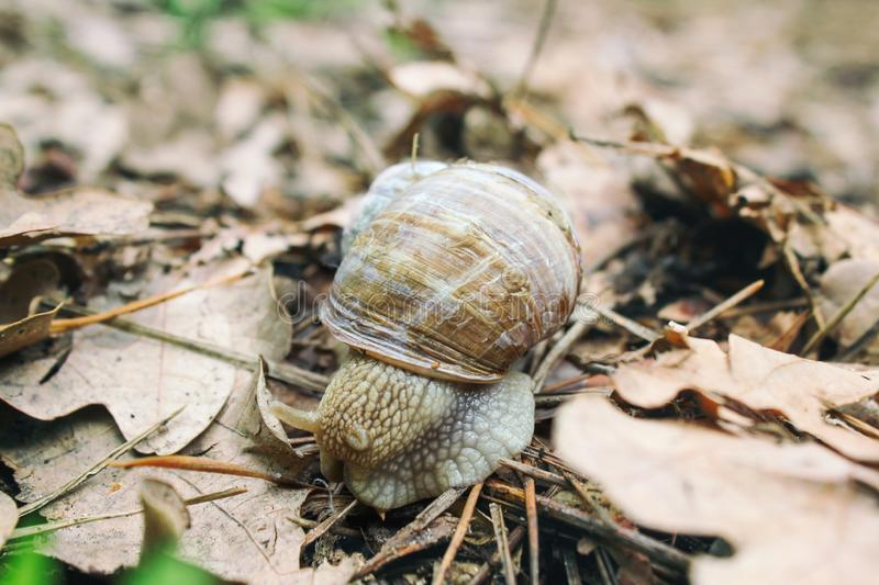 Helix pomatia also Roman snail, Burgundy snail, edible snail or escargot, is a species of large, edible, air-breathing land snail royalty free stock photo