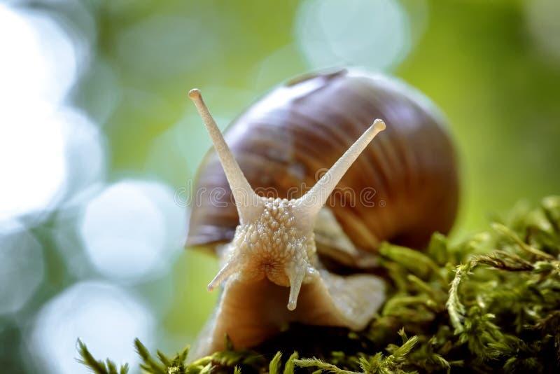 Helix pomatia also Roman snail, Burgundy snail. Edible snail or escargot, is a species of large, edible, air-breathing land snail, a terrestrial pulmonate stock photos