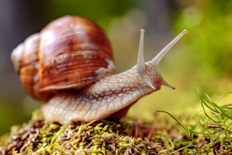 Helix pomatia also Roman snail, Burgundy snail. Edible snail or escargot, is a species of large, edible, air-breathing land snail, a terrestrial pulmonate stock photo