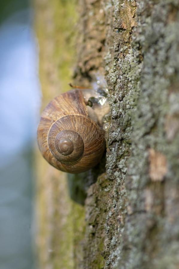Helix pomatia big land snail on tree bark, brown shell with relaxing animal inside. Sunny day royalty free stock photo