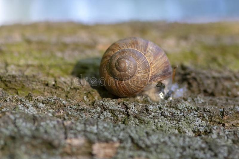 Helix pomatia big land snail on tree bark, brown shell with relaxing animal inside. Sunny day royalty free stock photos