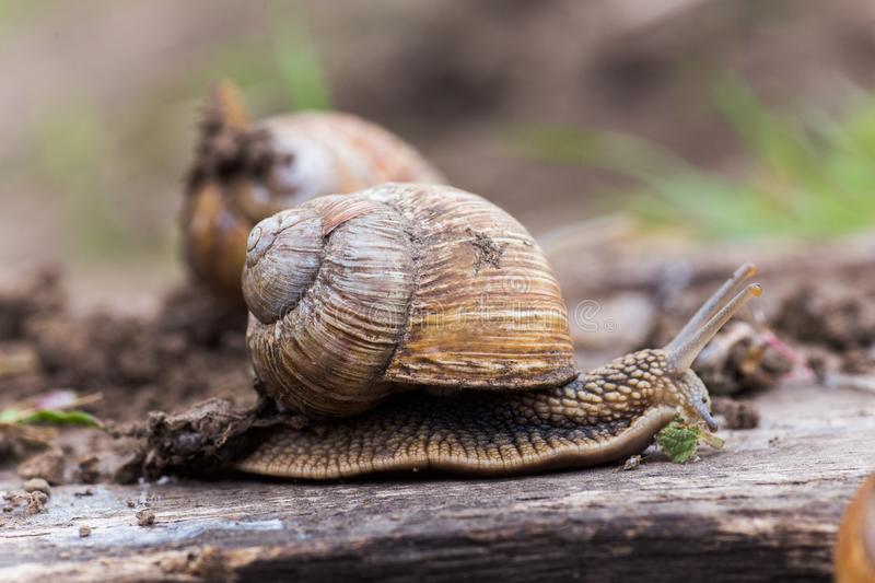 Helix pomatia, or Burgundy snail, Roman, edible or escargot crawls on a wooden board. The snail stuck out its antennae. royalty free stock photo