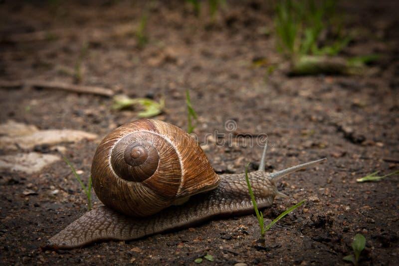 Helix pomatia. The Burgundy snail, Roman snail, edible snail or escargot royalty free stock photos