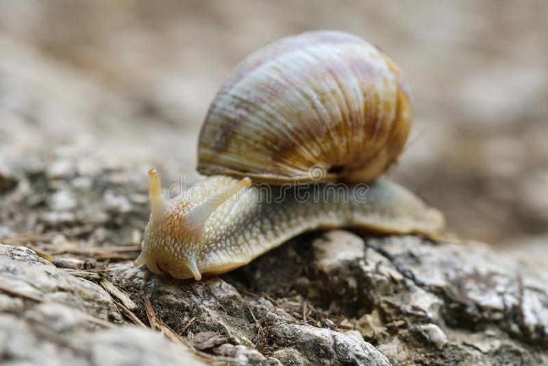 The Helix pomatia, common names the Burgundy snail, Roman snail, edible snail or escargot royalty free stock photography