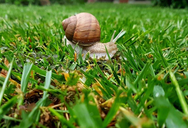Helix pomatia della lumaca di giardino in erba verde fotografie stock libere da diritti