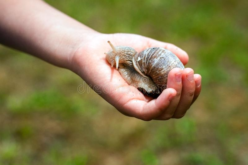Childs hand holding a snail. Helix Pomatia on a palm. Helix Pomatia on a palm. Childs hand holding a snail royalty free stock photo