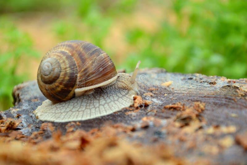 Helix pomatia. Roman or Edible Snail Helix pomatia stock photos