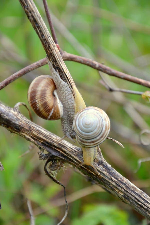 Helix pomatia. Roman or Edible Snail Helix pomatia stock photography