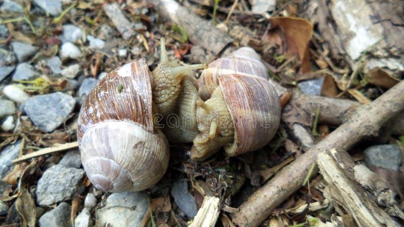 Helix pomatia, Roman snail, Burgundy snail, edible snail or escargot royalty free stock photo