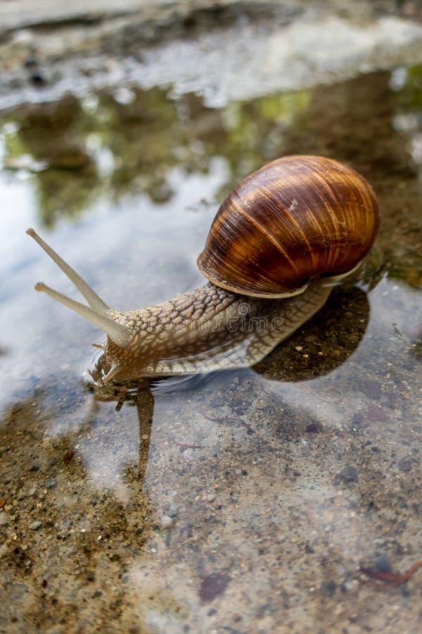 Helix pomatia, Roman snail, Burgundy snail, edible snail or escargot royalty free stock photography