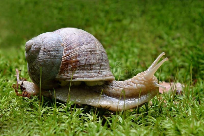 Helix pomatia. Snail Helix pomatia snail is a European stock images