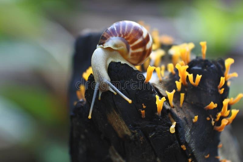 Helix pomatia, a species of land snail stock photos