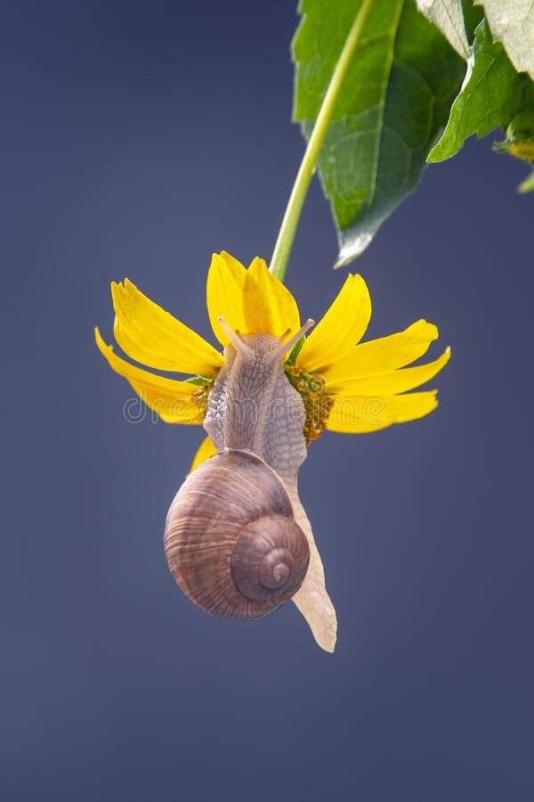 Free Helix Pomatia. The Snail Hangs On A Yellow Flower And Eats A Petal. Mollusc And Invertebrate. Delicacy Meat And Gourmet Food Royalty Free Stock Photography - 192985417