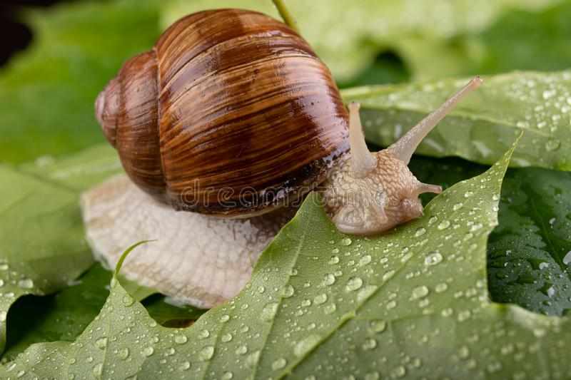 Helix pomatia on wet maple leaves. Snail on a forest path in the forest. Season of the spring animal antenna background brown burgundy closeup cooking edible royalty free stock photography