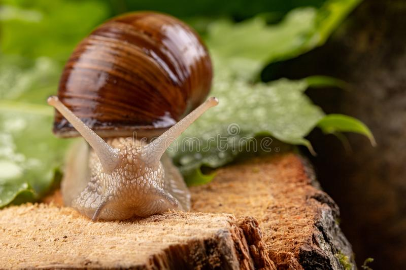 Helix pomatia on wet maple leaves. Snail on a forest path in the forest. Season of the spring animal antenna background brown burgundy closeup cooking edible royalty free stock photo