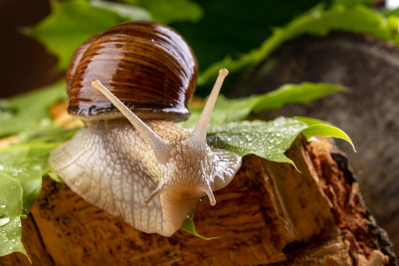 Helix pomatia on wet maple leaves. Snail on a forest path in the forest. Season of the spring animal antenna background brown burgundy closeup cooking edible stock image