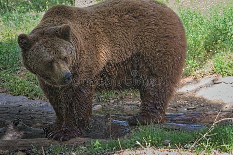 Hellång bild av en brunbjörn arkivfoto