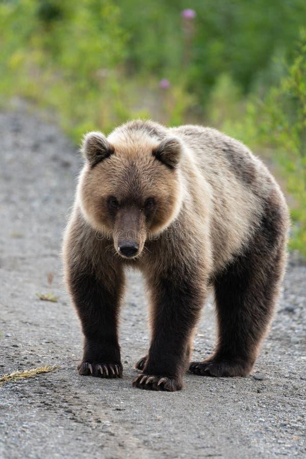 Hellång stående av den ruskiga hungriga Kamchatka brunbjörnen som ser kameran royaltyfri bild