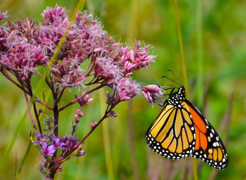 Hell farbiger Monarch, der Joe Pye Weed-Rosablume erfasst stockfotos