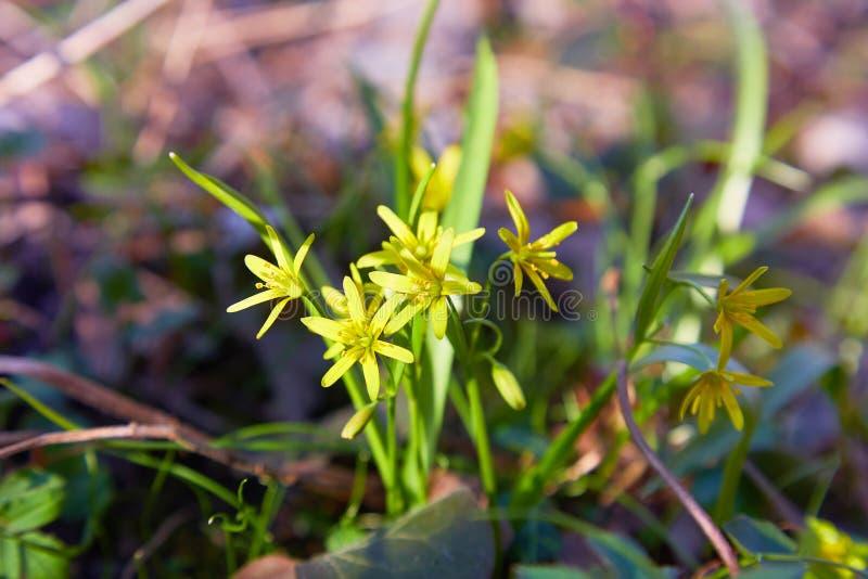 Hell gelbe Blumen des Gagea von gebl?ht auf einer Fr?hlingswiese stockbild