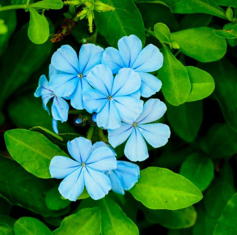 Hellblaue Blume stockfoto