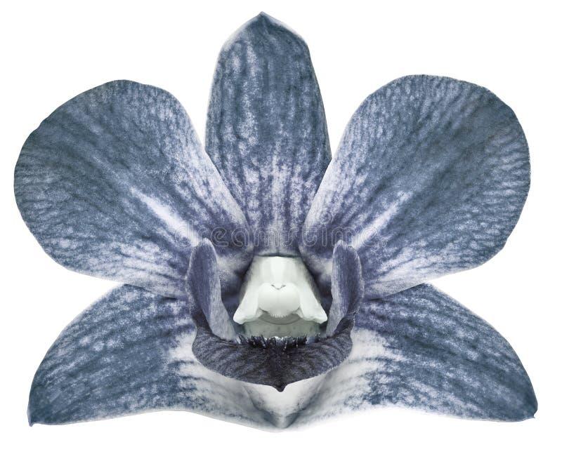 Hellblaue Blume der Orchidee, weißer lokalisierter Hintergrund mit Beschneidungspfad nahaufnahme Keine Schatten Für Auslegung stockbilder