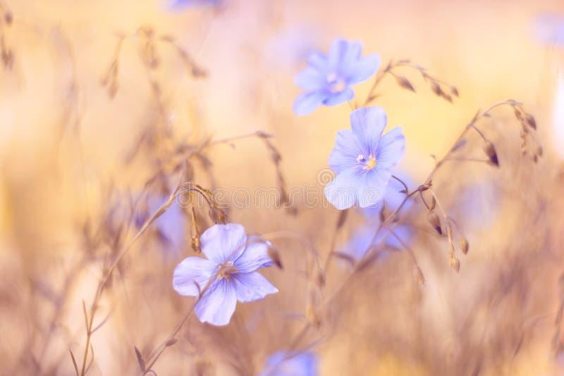 Hellblaue Blumen auf einem Hintergrund des gelben Brauns Der schöne unscharfe Hintergrund mit Blumen Flachs des Feldes stockbilder