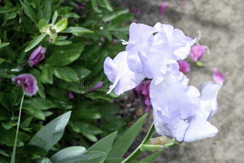 Hellblaue Irisblume, die im Frühjahr in einem Garten blüht stockbilder