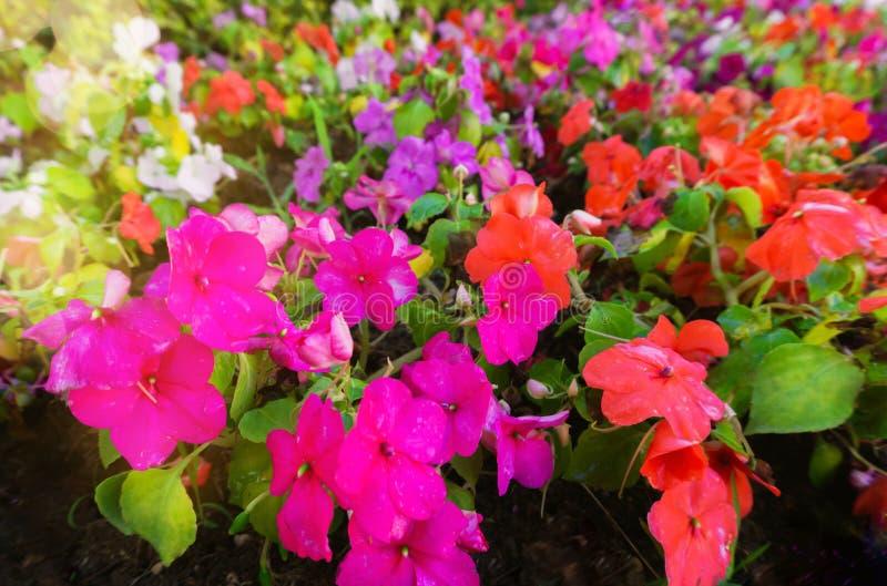 Hellbrauner Rasen afrikanischer Ungeziefer, farbiger Garten Balsam Flo stockfoto