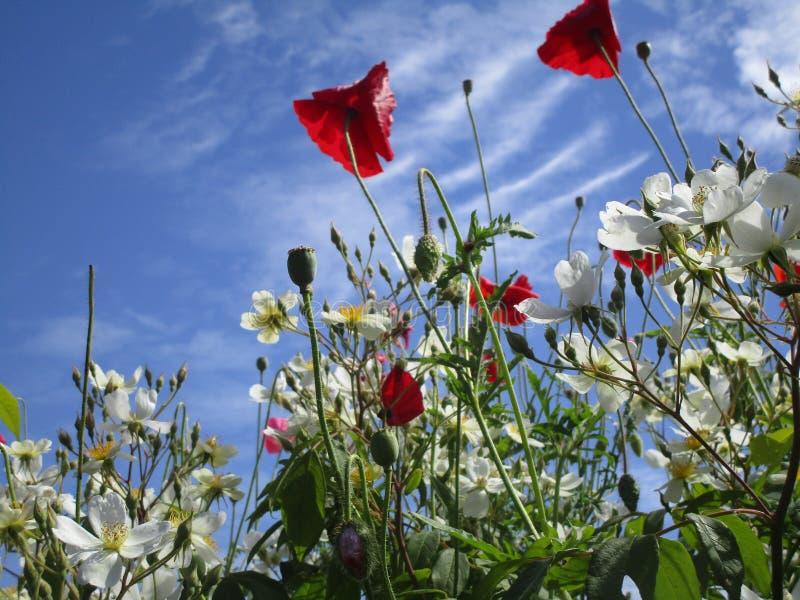 Helle attraktive rote Mohnblume und weiße Blumen, die im Frühsommer blühen stockbild