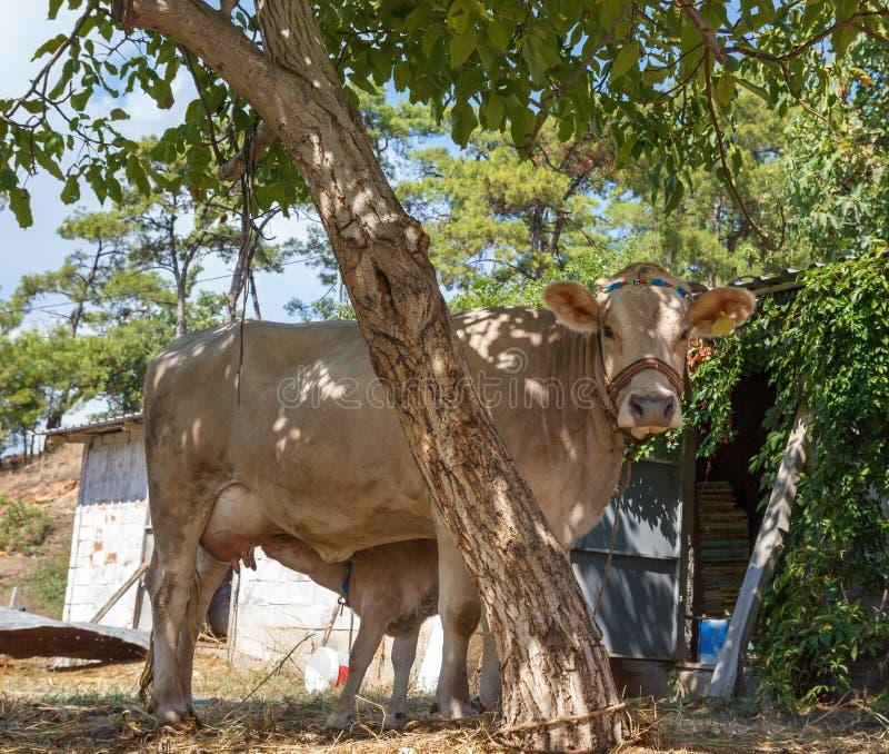 Helle beige Kuh mit Kalb lizenzfreie stockfotos