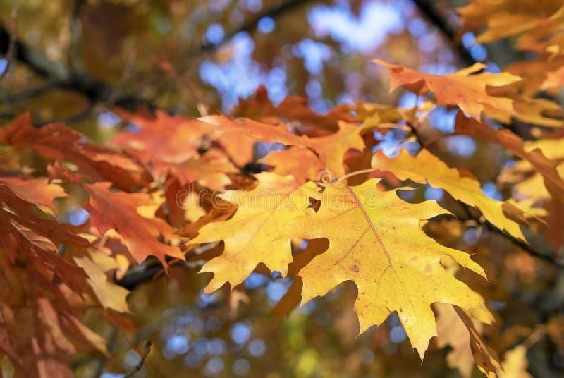 Helle Blätter des Ahorns im Herbststadtpark lizenzfreies stockfoto