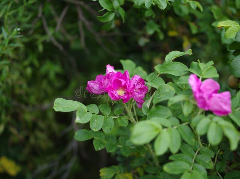 Helle Blüten der Hundrose stockfotografie