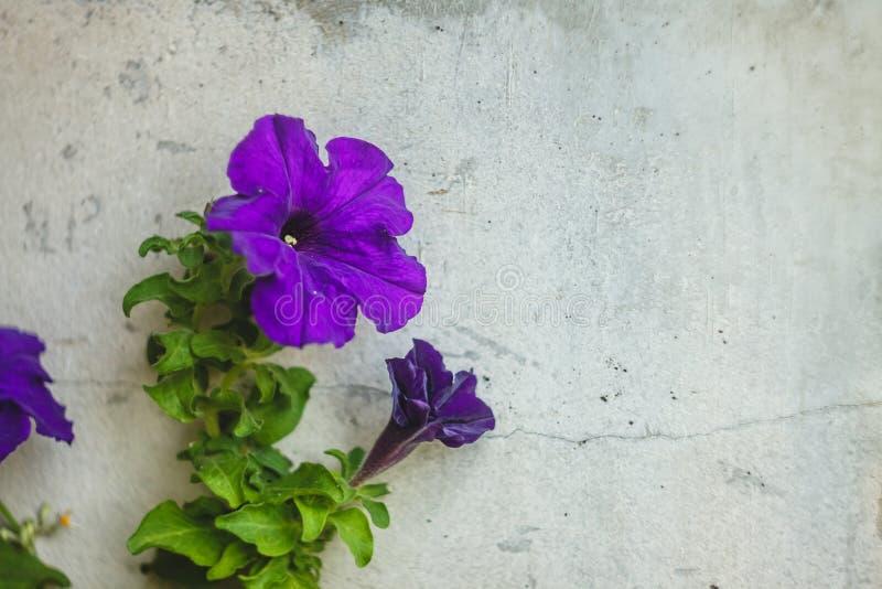 Helle blaue, purpurrote, rosa Petunienblumen in den Töpfen auf dem Balkon lizenzfreie stockfotos