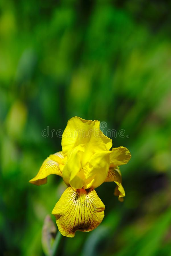 Helle Blume der gelben Iris des Gartens stockfoto