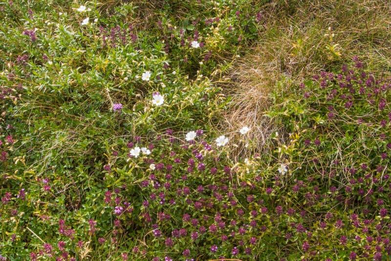 Helle bunte alpine Blumen auf die Oberseite des Berges, am Naturpark Bucegi stockfotografie