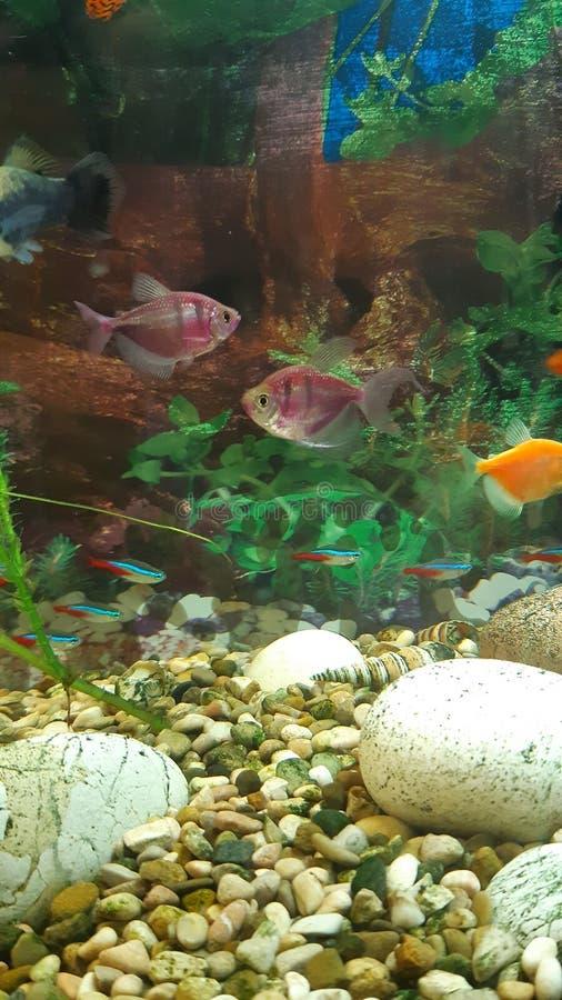 Helle Fische im Aquarium lizenzfreie stockfotos