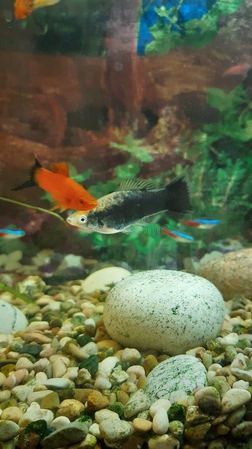 Helle Fische im Aquarium lizenzfreies stockbild