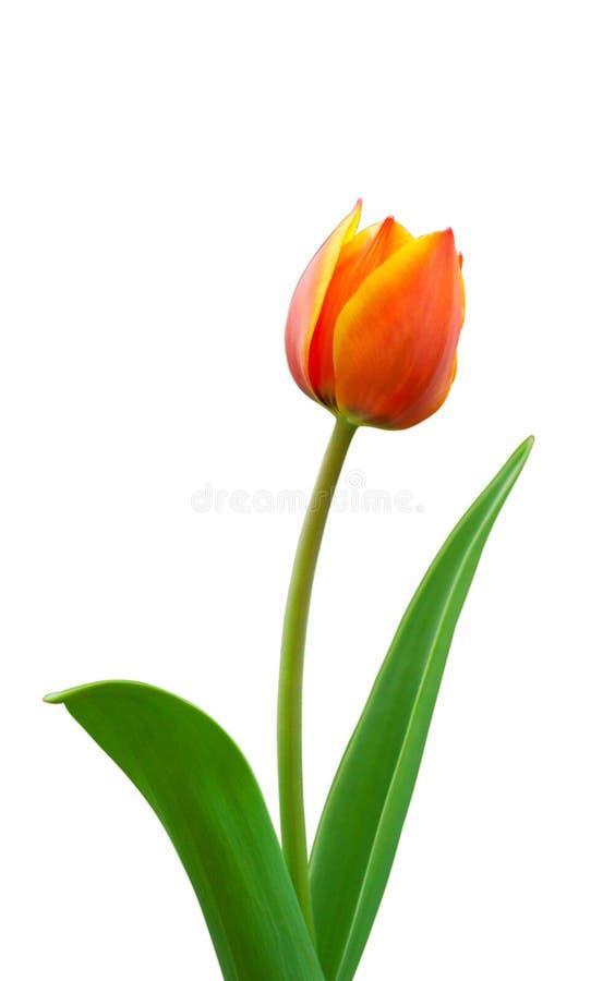 Helle geblühte Tulpe stockbild