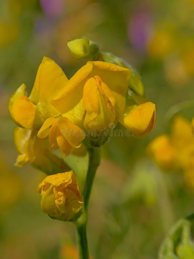 Helle gelbe Blume der gemeinen Platterbse lizenzfreie stockbilder