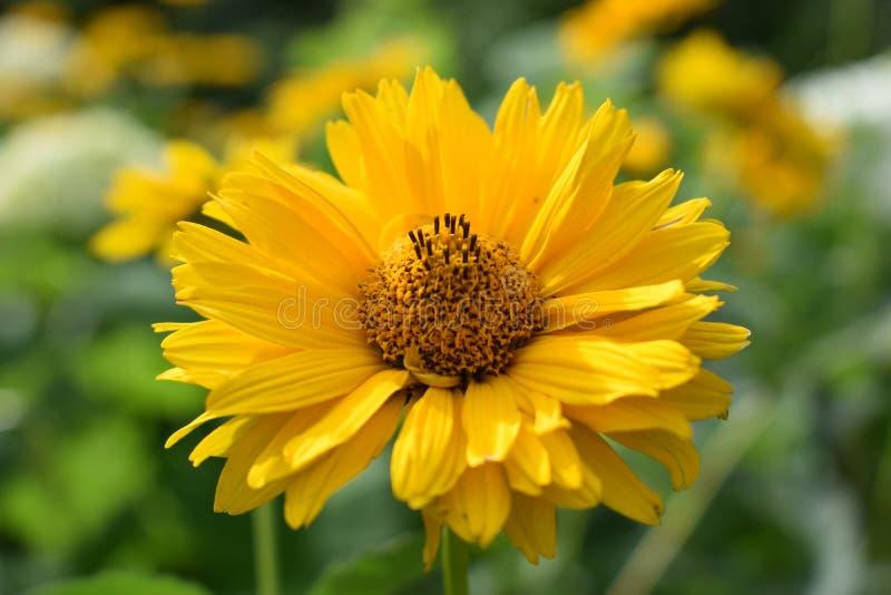 Helle gelbe Blume des Topinambur an einem Sommertag lizenzfreie stockbilder