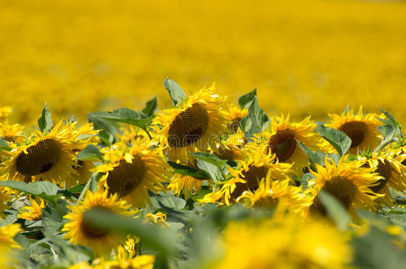 helle gelbe Blume mit Biene in der Mitte lizenzfreie stockbilder