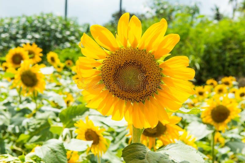 helle gelbe Blume mit Biene in der Mitte stockbild