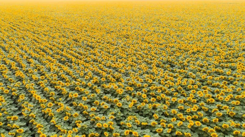 helle gelbe Blume mit Biene in der Mitte landwirtschaft Vogelperspektive von Sonnenblumen stockbild