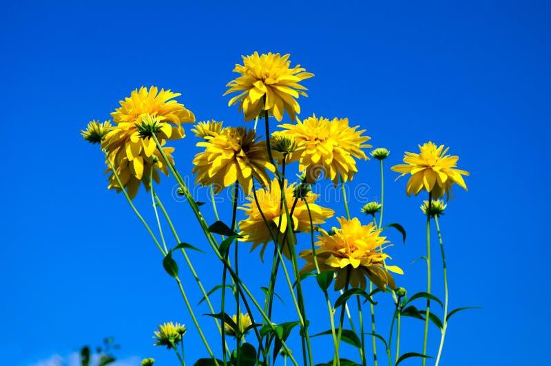Helle gelbe Blumen eines goldenen Balls gegen einen blauen Himmel lizenzfreies stockfoto