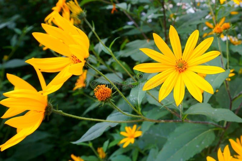 Helle gelbe Blumen Topinambur lizenzfreie stockfotos