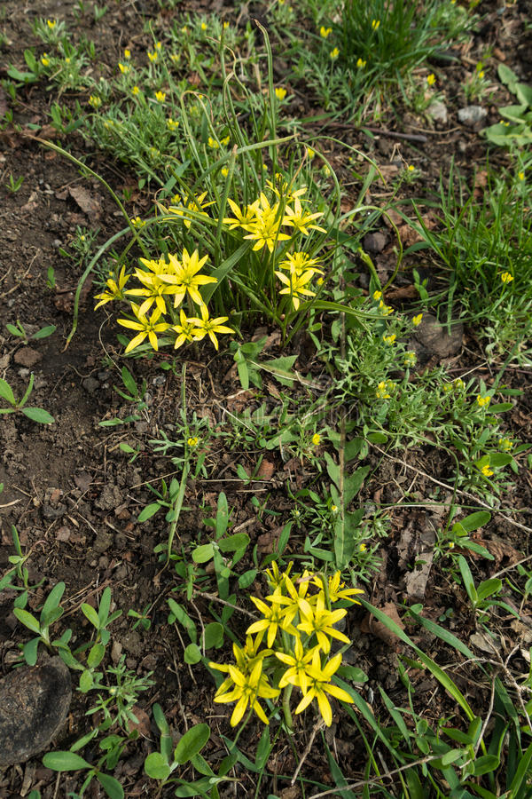 Helle gelbe Blumen von Gagea-Minimum und von Ceratocephala-testiculata lizenzfreie stockbilder