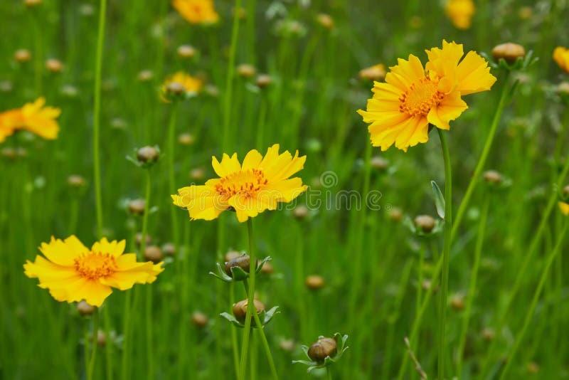 Helle gelbe Blumen von Lanze-leaved Coreopsis Coreopsis lanceolata stockfotografie