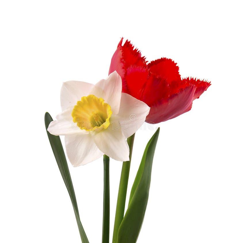 Helle gelbe Narzisse und rote Tulpe, lokalisiert auf weißem Hintergrund stockbilder