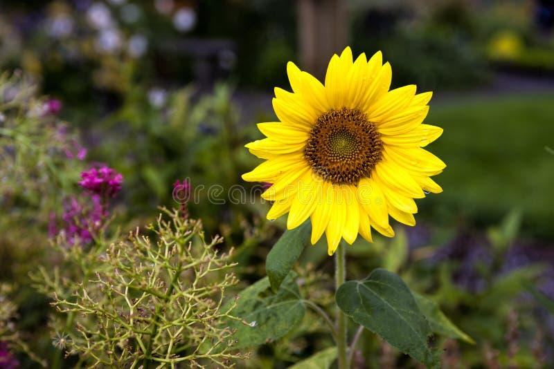 Helle gelbe Sonnenblume. lizenzfreie stockfotografie